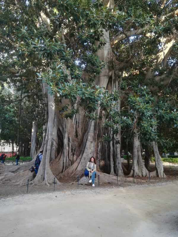 Ficus Macrophylla Palermo
