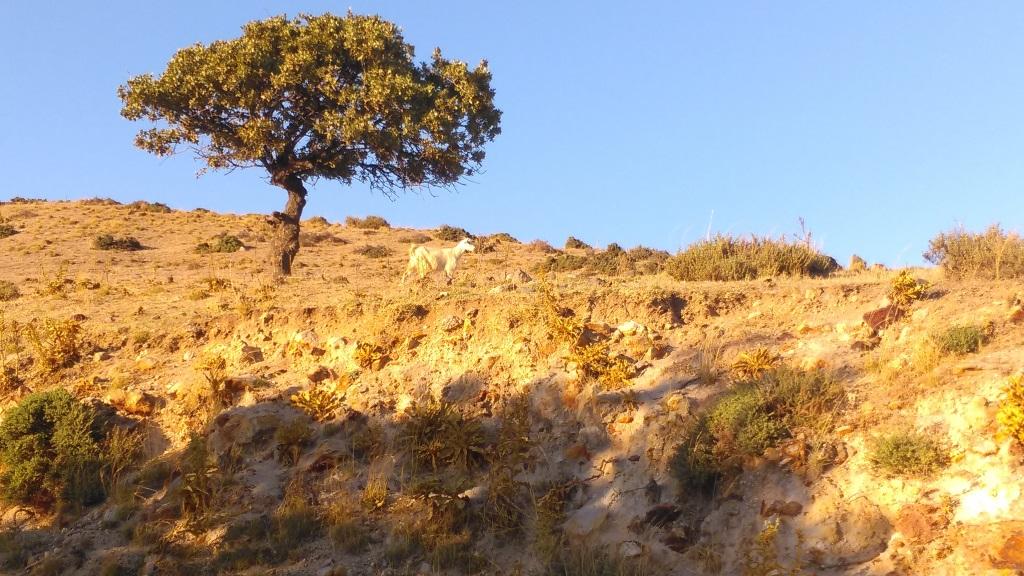 Nisyros keçileri
