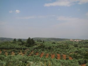 Kalamata'daki zeytinlikler